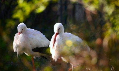 """Parco del Mincio piacevole """"invasione"""" di Cicogna bianca"""