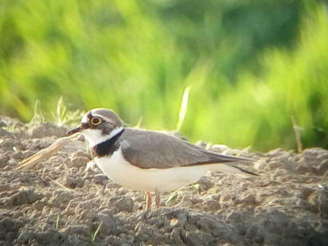 Parco del Mincio: birdwatching alla scoperta degli uccelli limicoli