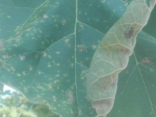 Cimice asiatica: presenza diffusa sul territorio