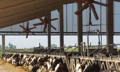 Mucche stressate dal caldo record: giù la produzione di latte