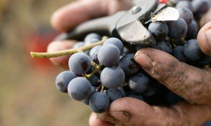 Vendemmia 2018: boom grappoli anche nell'Oltrepò e Mantovano