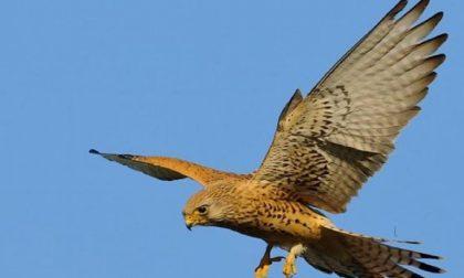 Centro di recupero fauna selvatica rinasce a Mantova: oggi si libera un falco