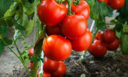 Coldiretti Mantova: produzione pomodoro da industria giù dell'11%