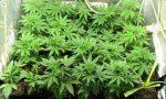 Coltivazione di marijuana in un appartamento di Porto Mantovano