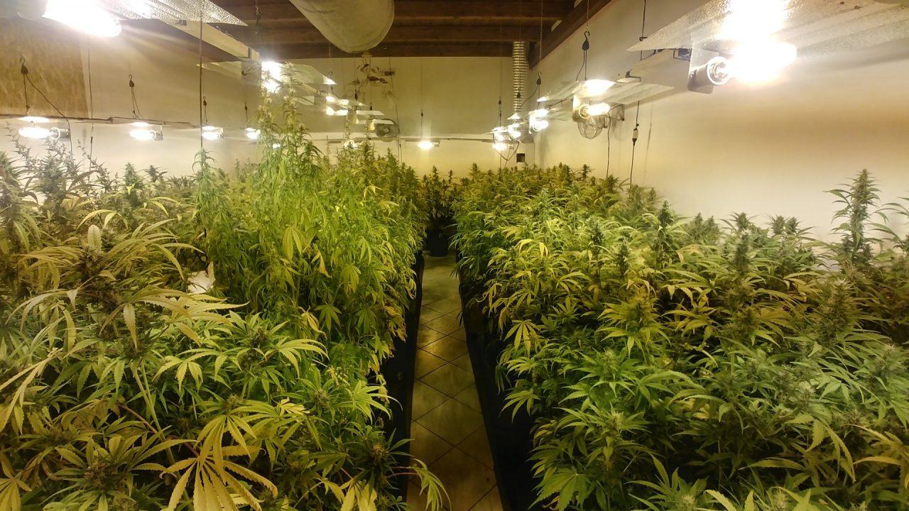 Coltiva marijuana in casa: sequestrate 316 piante FOTO