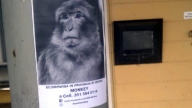 Una scimmietta si aggira nelle campagne del vicino Veronese?