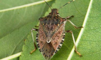 """Cimice asiatica: la Regione vuol combatterla con l'aiuto di insetti """"lombardi"""""""