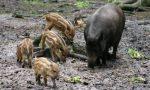 Animali selvatici, Coldiretti Mantova segnala colonia di cinghiali nell'Asolano