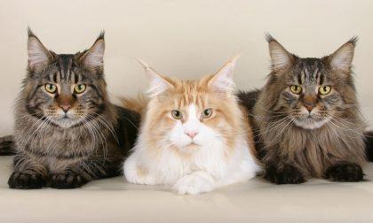 Sfida a colpi di bellezza: nel mantovano Expo con i gatti più belli del mondo