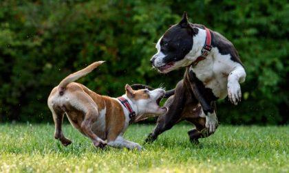 Due Pitbull liberi attaccano un cane, i proprietari finiscono in pronto soccorso per difenderlo