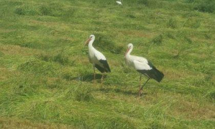 Tutti in casa, le cicogne si fanno largo senza paura nei campi mantovani FOTO