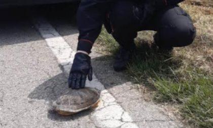 Giorgina, la tartaruga 20enne salvata dai Carabinieri di San Giorgio Bigarello