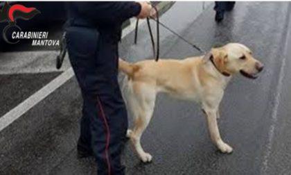 Spacciatore trovato in possesso di cocaina: scoperto grazie a Grom il labrador