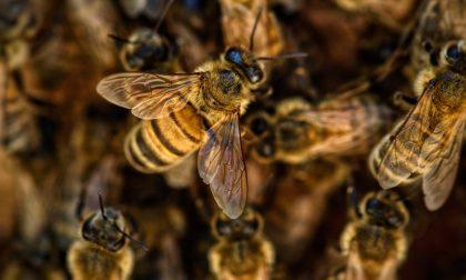 Moria di api nella Bassa: mistero su 5 milioni di insetti impollinatori avvelenati