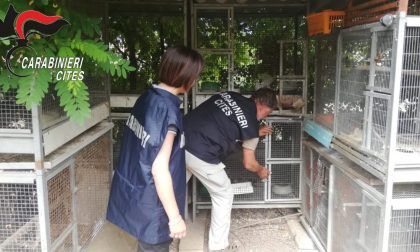 "Operazione ""Pettirosso"", salvati migliaia di esemplari di avifauna protetta: oltre 100 bracconieri denunciati"