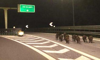 La foto del branco di cinghiali a spasso in autostrada… che rischio!