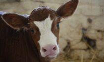 Tentano di rubare un vitello ma vengono messi in fuga: tre minori nei guai