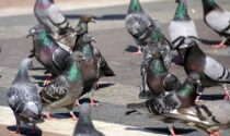La Lombardia apre la caccia al piccione: 20mila uccelli da abbattere